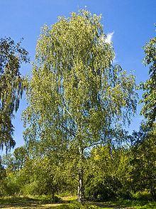 Birch httpsuploadwikimediaorgwikipediacommonsthu