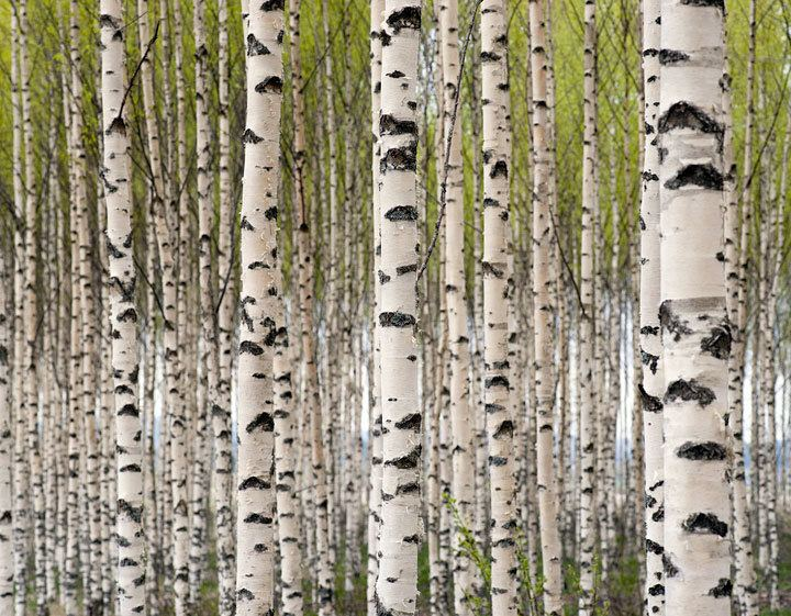 Birch Birch Fragrances and Cultures