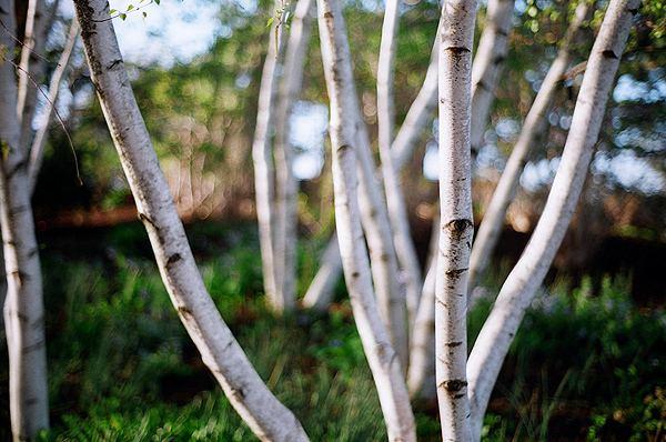Birch Birch Wikipedia