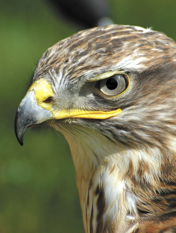 Bird of prey Bird of Prey Day Saturday Sept 29th Livingston Manor