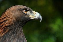 Bird of prey Bird of prey Wikipedia