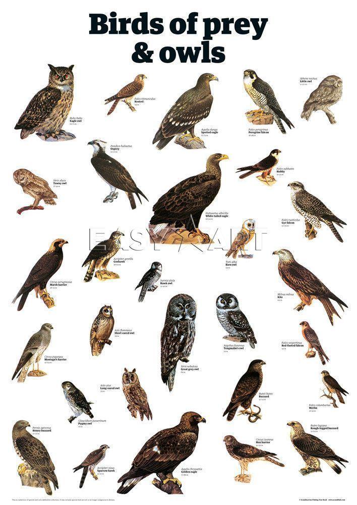 Bird of prey httpssmediacacheak0pinimgcom736x20a0cb