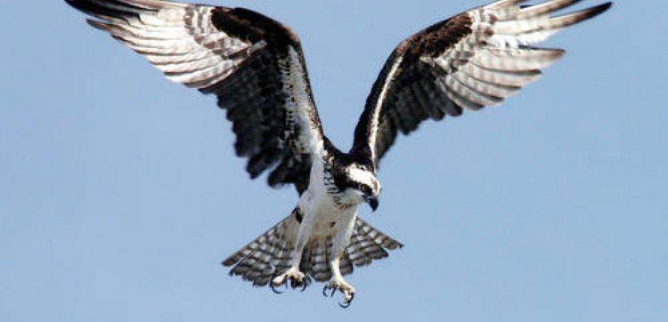 Bird of prey List of Birds of Prey BirdLife