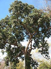 Bischofia javanica httpsuploadwikimediaorgwikipediacommonsthu