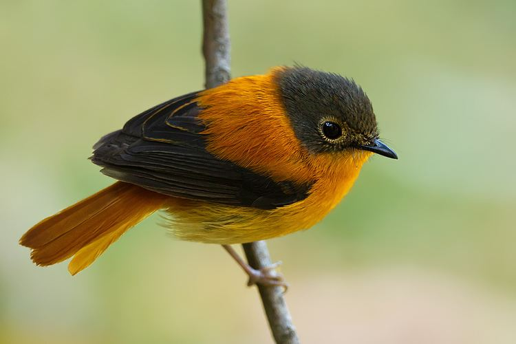pictures-of-black-and-orange-birds-nikki-benz-hot-sex