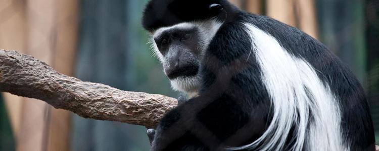 Black-and-white colobus BlackAndWhite Colobus Lincoln Park Zoo