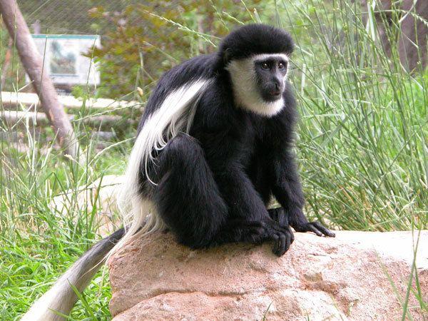 Black-and-white colobus Eastern Black and White Colobus Monkey Utah39s Hogle Zoo