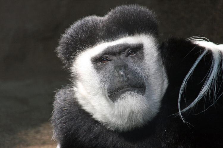 Black-and-white colobus BlackandWhite Colobus Monkey The Cincinnati Zoo amp Botanical Garden