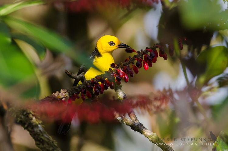 Black-and-yellow tanager Blackandyellow Tanager Chrysothlypis chrysomelas Flickr