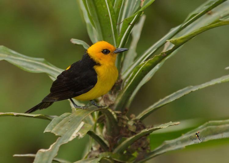 Black-and-yellow tanager Tangara Negro y Dorado Blackandyellow Tanager Chrys Flickr