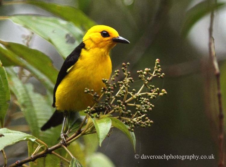 Black-and-yellow tanager amazonclikpiccomdaveroachimagesBlackandyell