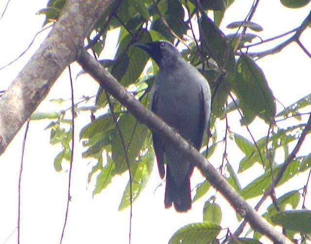 Black-bibbed cicadabird Oriental Bird Club Image Database Blackbibbed Cicadabird