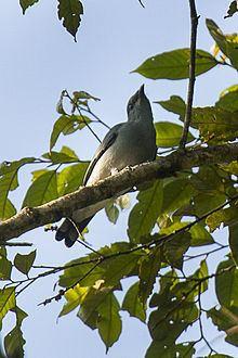 Black-bibbed cicadabird httpsuploadwikimediaorgwikipediacommonsthu