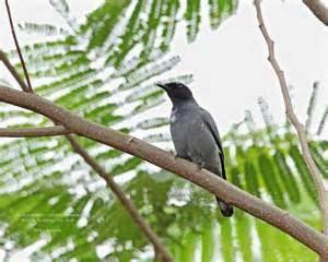 Black-bibbed cicadabird More on Coracina mindanensis Blackbibbed Cicadabird