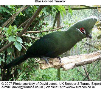 Black-billed turaco Blackbilled Turacos Tauraco schuetti