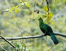 Black-billed turaco httpsuploadwikimediaorgwikipediacommonsthu