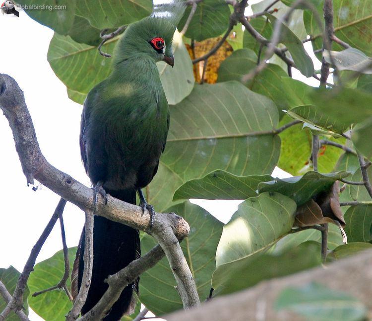 Black-billed turaco Blackbilled Turaco Tauraco schuettii Abuko Nature Reserve