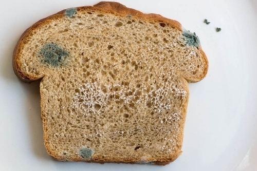 bread mold imrad essay Free essay: imagine a person buys a loaf of bread and a cake from a bakery, and then the food is set down in the automobile and forgotten about for a few.