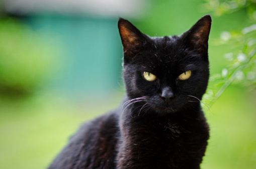 Black cat Black Cats Are Beautiful Care2 Healthy Living