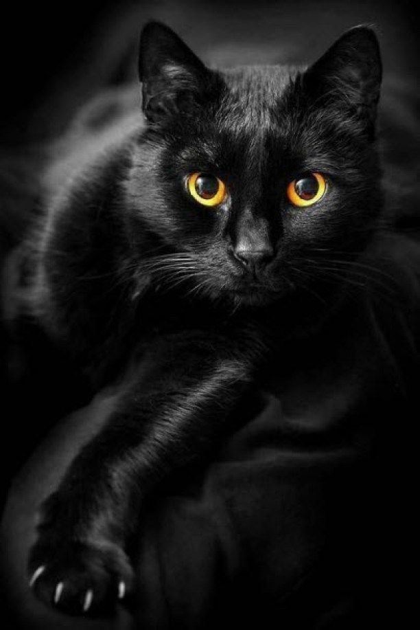 Black cat 1000 ideas about Black Cats on Pinterest Cats Kittens and Kitty