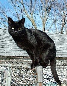 Black cat httpsuploadwikimediaorgwikipediacommonsthu