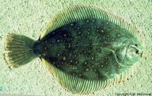 Black flounder Black Flounder NIWA