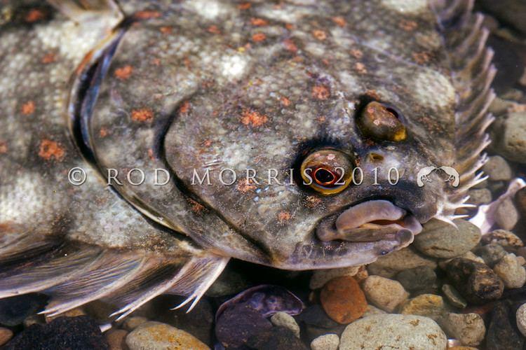 Black flounder Rod Morris Nature Photography Photo Keywords Black flounder