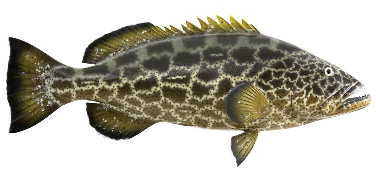 Black grouper Black Grouper Fish Replica mounted fish fish trophy