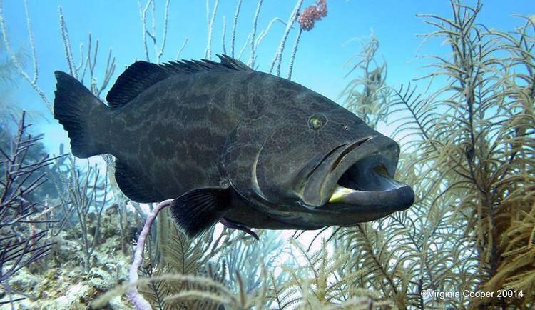 Black grouper BAHAMAS REEF FISH 22 BLACK GROUPER ROLLING HARBOUR ABACO