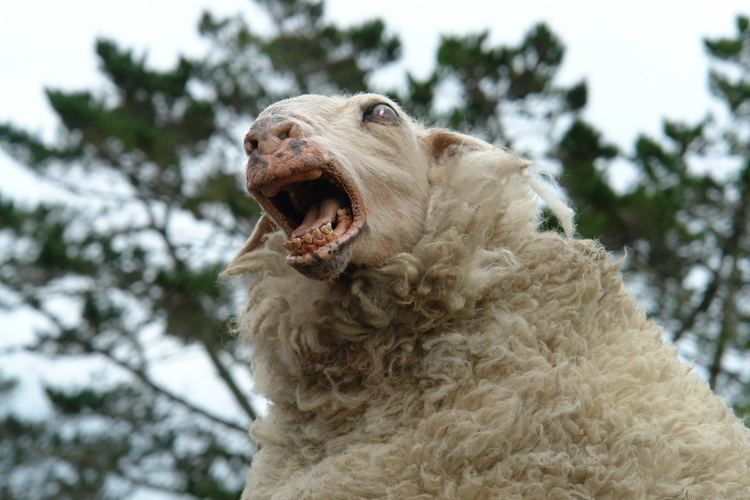 Black Sheep (2006 film) movie scenes Black Sheep is the sort of film that will appeal to fans of Peter Jackson s early horror comedies Braindead and Bad Taste Like these low budget films