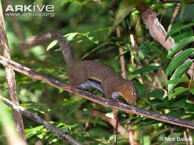 Black-striped squirrel cdn1arkiveorgmedia4949CA6E5334A64B60993F3