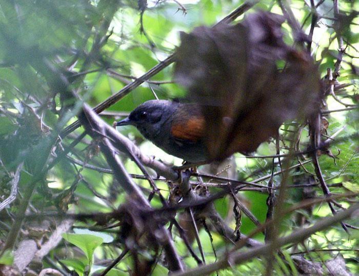 Blackish-headed spinetail wwwhbwcomsitesdefaultfilesstylesibc1kpubl