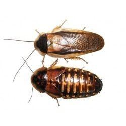 Blaptica dubia Dubia Roaches