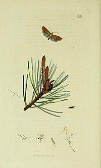 Blastesthia turionella httpsuploadwikimediaorgwikipediacommonsthu