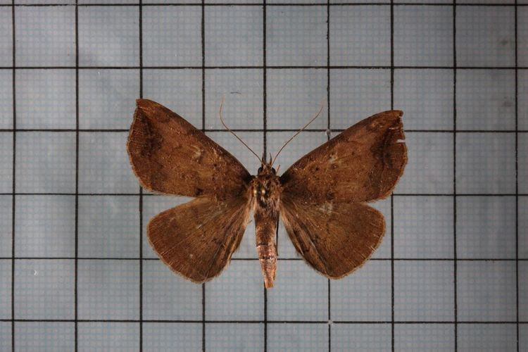 Blasticorhinus ussuriensis