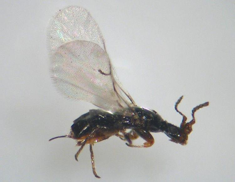 Blastophaga Chalcidoidea