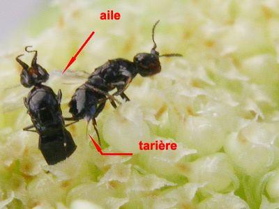 Blastophaga figuier