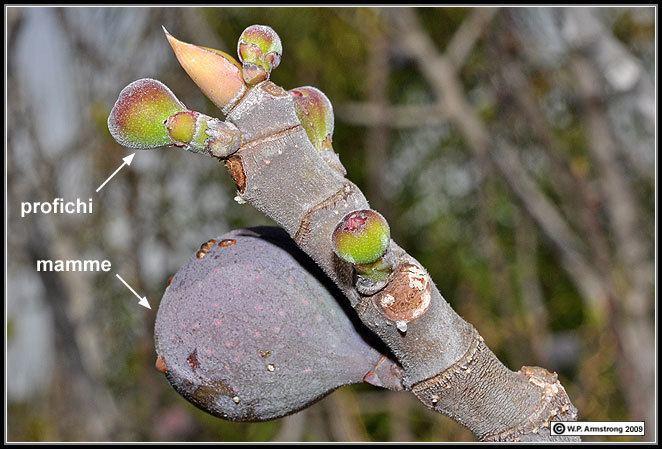 Blastophaga Calimyrna Figs In California Photos