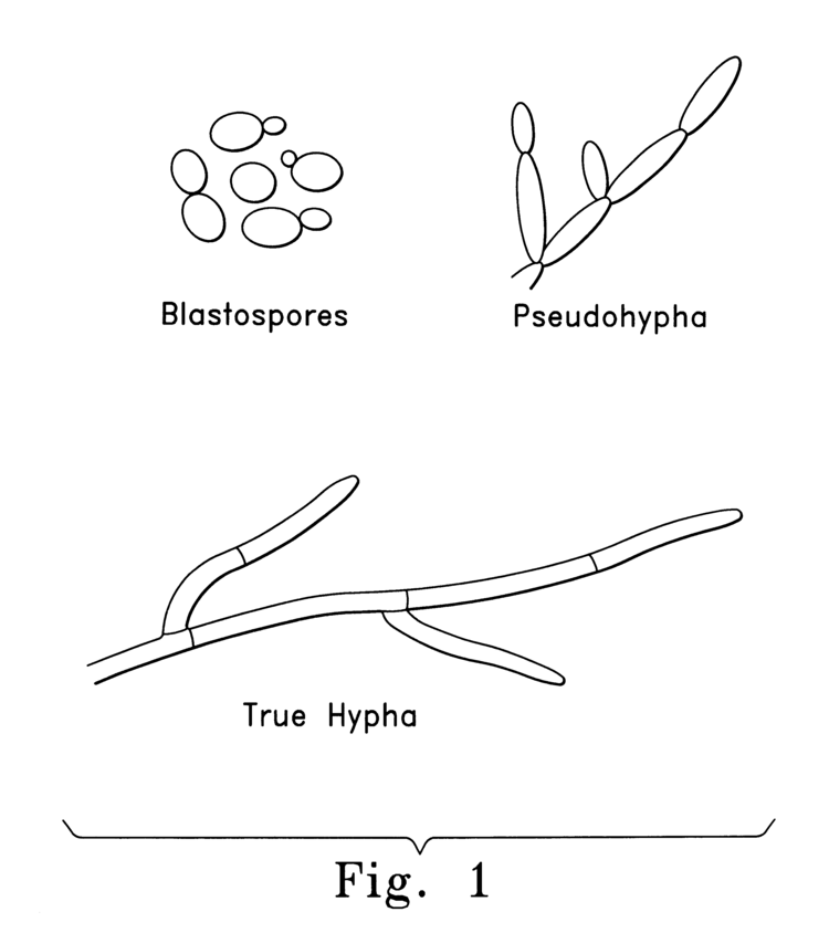 Blastospore Blastospore Candida Albicans