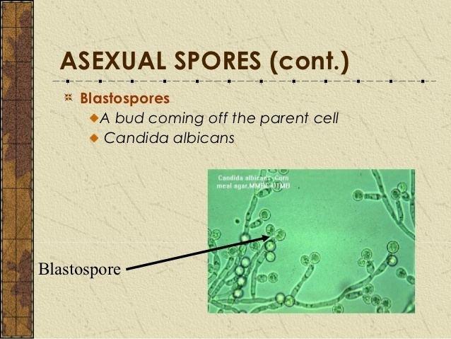 Blastospore Chap 3 fungal reproduction