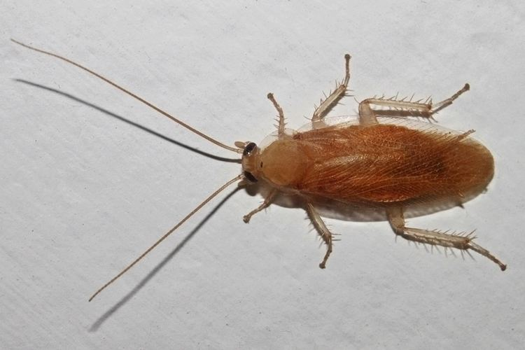 Blattella asahinai Asian cockroach Blattella asahinai
