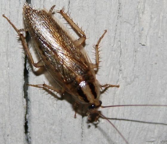 Blattella asahinai ID Help Blattella asahinai BugGuideNet