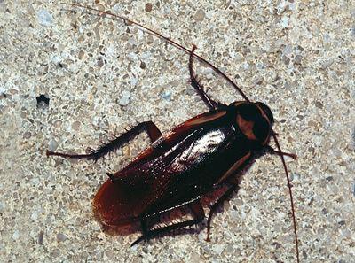 Blattodea Blattaria Cockroaches Blattodea Discover Life