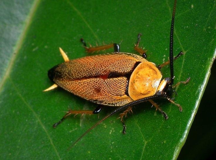 Blattodea httpssmediacacheak0pinimgcom736x5b6d04
