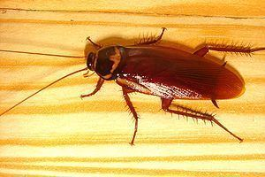 Blattodea Adventist Youth Honors Answer BookInsectBlattodea Wikibooks