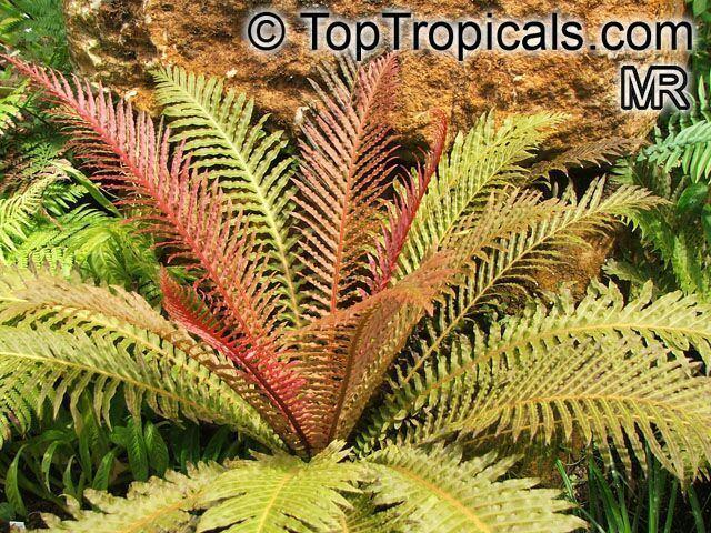 Blechnum brasiliense httpstoptropicalscompicsgardenm1listBlech