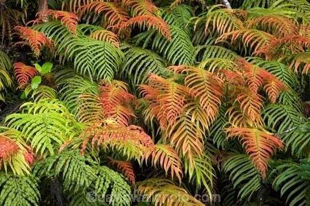 Blechnum novae-zelandiae wwwdavidwallphotocomgalleryNewZealandFiordlan
