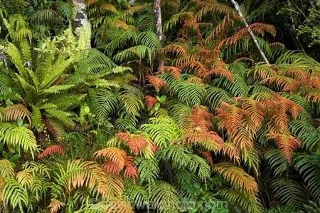 Blechnum novae-zelandiae Ferns Kiokio Blechnum novaezelandiae near Manapouri Fiordland