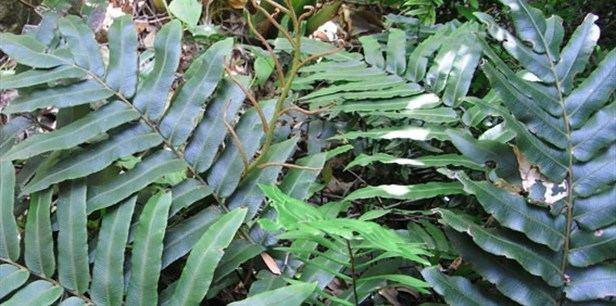 Blechnum wattsii Hard Water Fern Plant Guide Lifestyle HOME