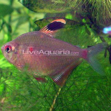 Bleeding heart tetra Tropical Fish for Freshwater Aquariums Bleeding Heart Tetra